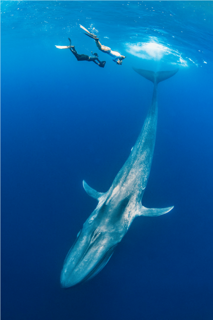 A sample of Dr Alex Mustard's Underwater work with a Minke Whale, during a live webinar with Crystal Divers Mauritius